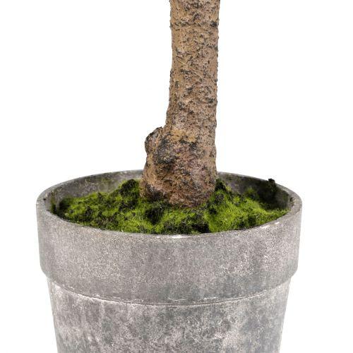 Dekorativní tlustice Plante Kalanchoe