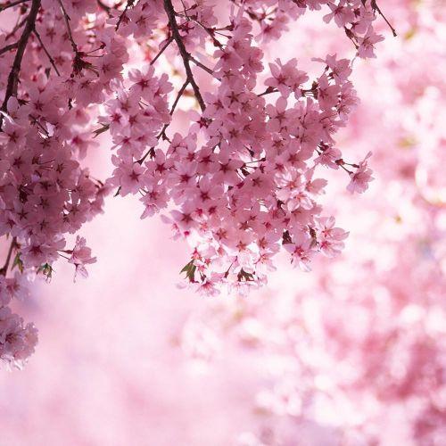 Svíčka ve skle Cherry Blossom - velká